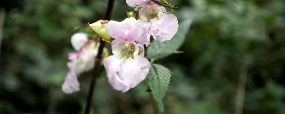 Blume0001